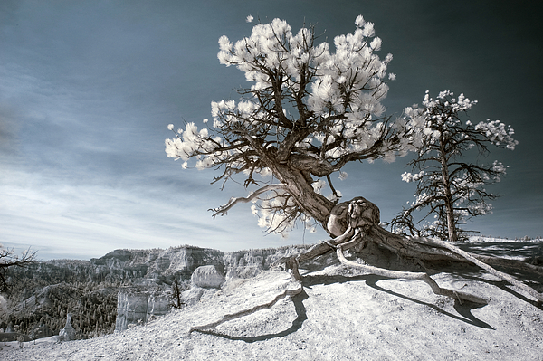 Bryce Canyon Infrared Tree by Mike Irwin